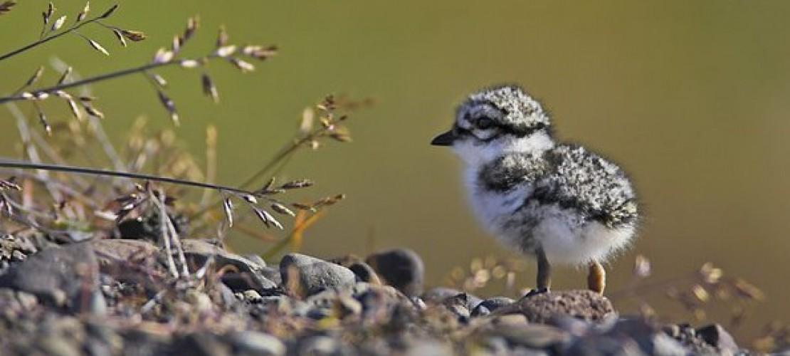 Sollte man junge Vögel retten?