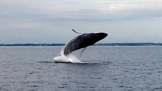 Warum springen Wale?