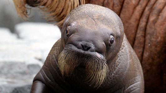 Tierkind der Woche: Walrösschen