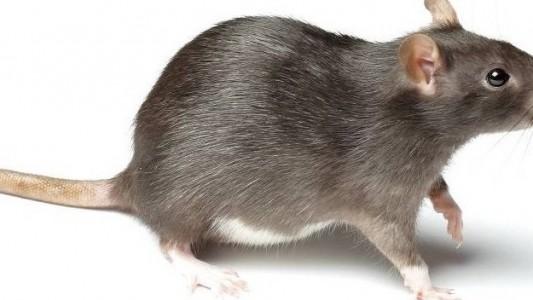 Haustier-Serie: Die Ratte