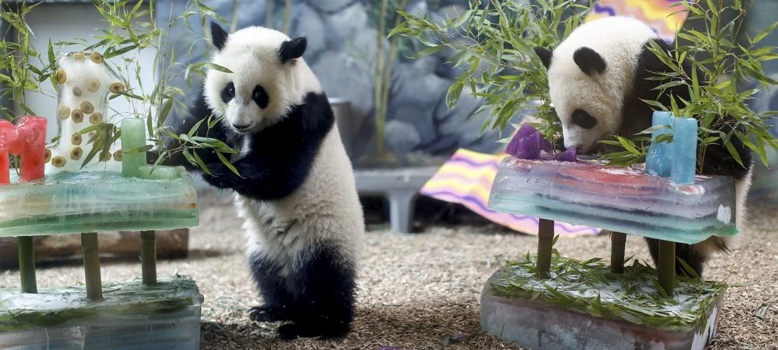 Tierkinder der Woche: Geburtstagspandas