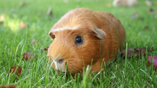Haustier-Serie: Das Meerschweinchen