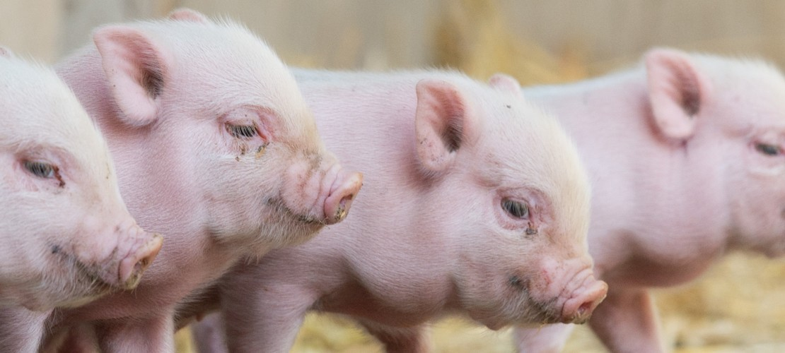 Mini-Schweine im Viererpack