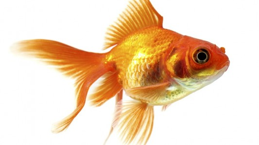 Haustier-Serie: Fische
