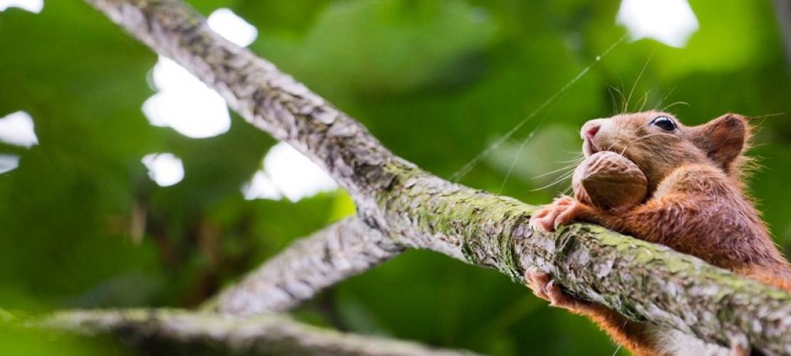 Wie knacken Eichhörnchen Nüsse?