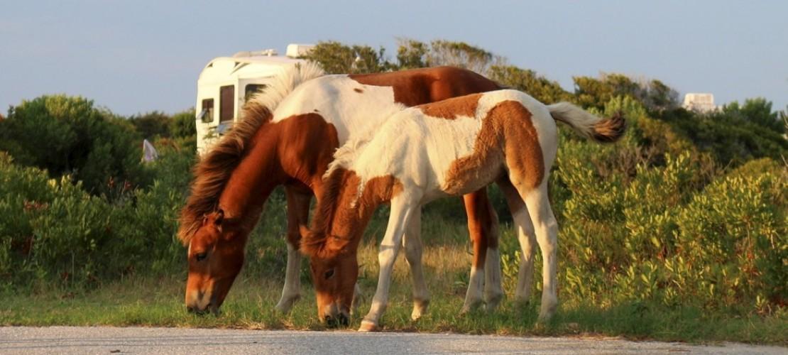 Wie die Pferde auf die Insel kamen