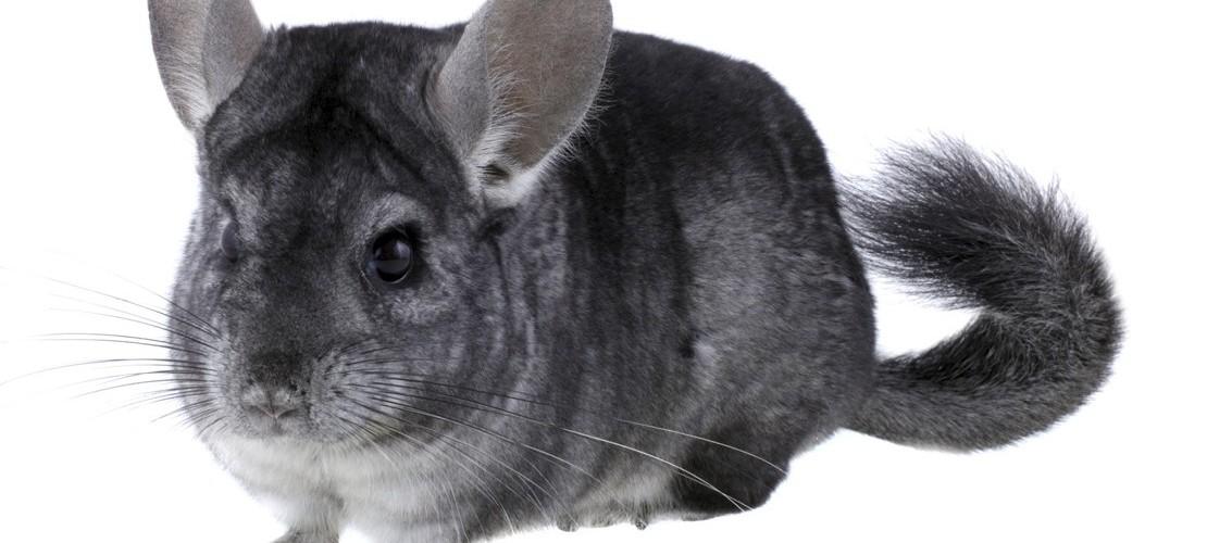 Haustier-Serie: Chinchilla