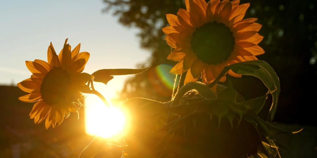Sonnenblume Duda News