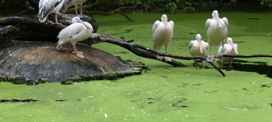 Was ist Entengrütze?