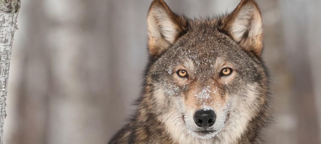 Wie gefährlich sind Wölfe?