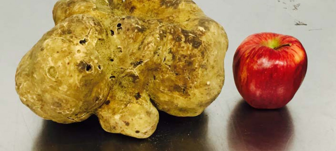 Riesen-Pilz wartet auf Käufer