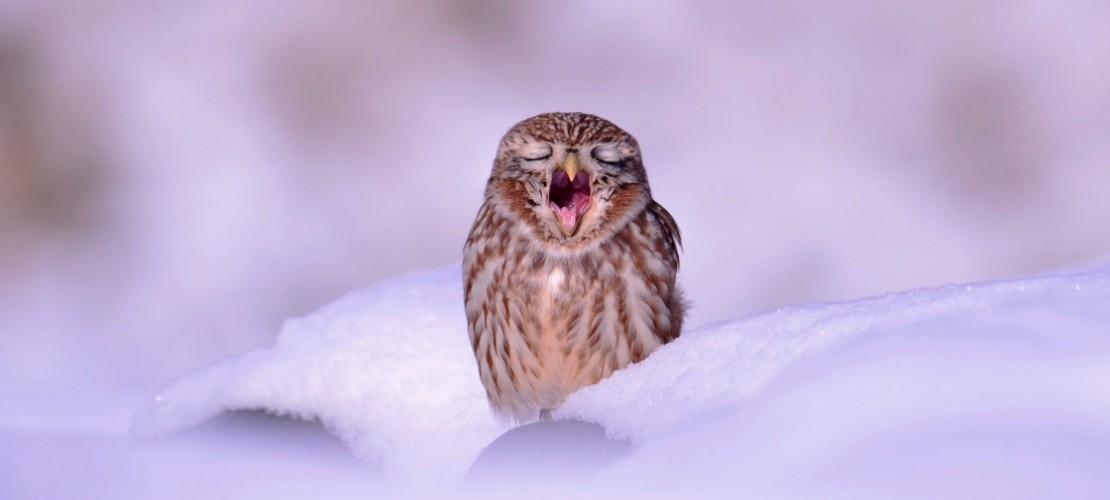 Ganz schön müde, diese Schnee-Eule