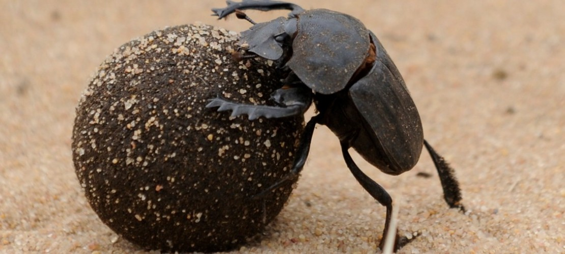 Käfer als Müllmänner