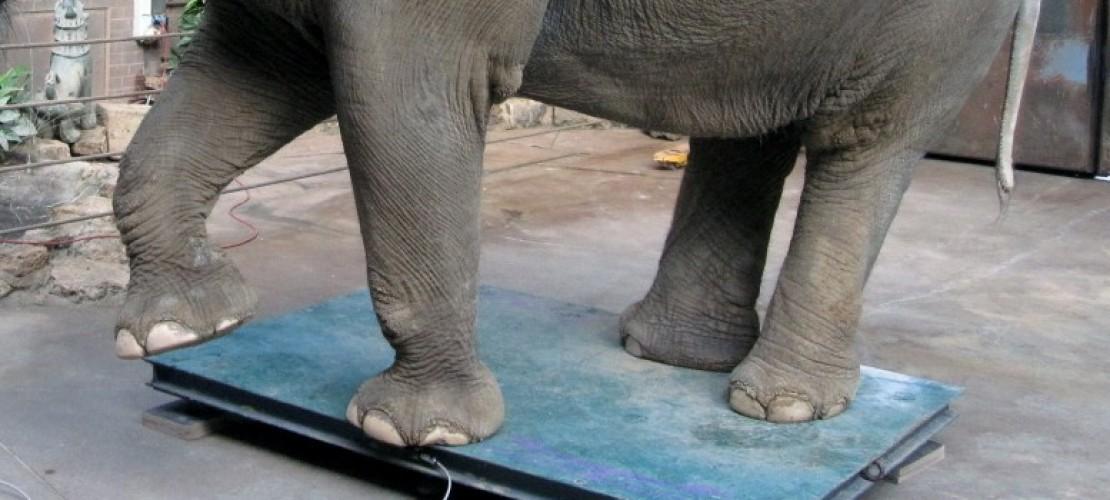 Wie wiegt man einen Elefanten?