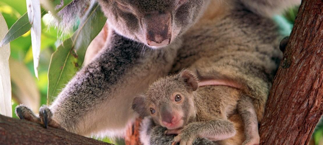 Koala-Babys werden im Beutel getragen