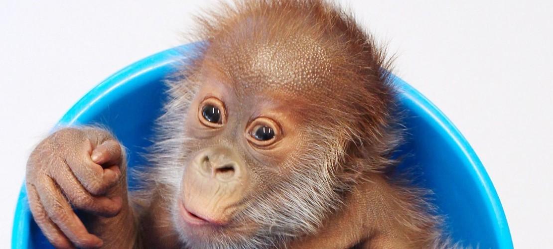 Das Orang-Utan-Baby Rieke wurde von seiner Mutter verstoßen. Jetzt wird es mit der Flasche großgezogen. (Foto: dpa)