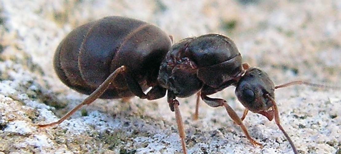 Ameisen sind eigentlich sehr saubere Tiere. Aber in ihren Nestern nutzen sie bestimmte Ecken, um dort ihr Geschäft zu machen. (Foto: dpa)