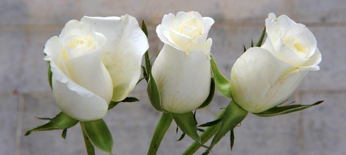 Weißen Rosen wurden zum Symbol für den Widerstand gegen das Naziregime Foto: dpa)