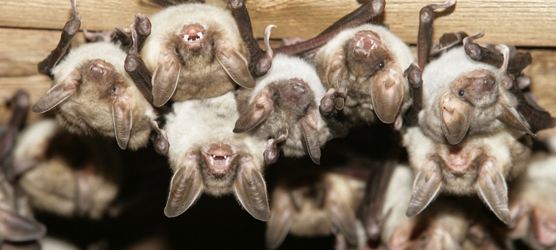 Manchmal ziehen sich Fledermäuse zum Winterschlaf in alte Gebäude zurück. (Foto: dpa)