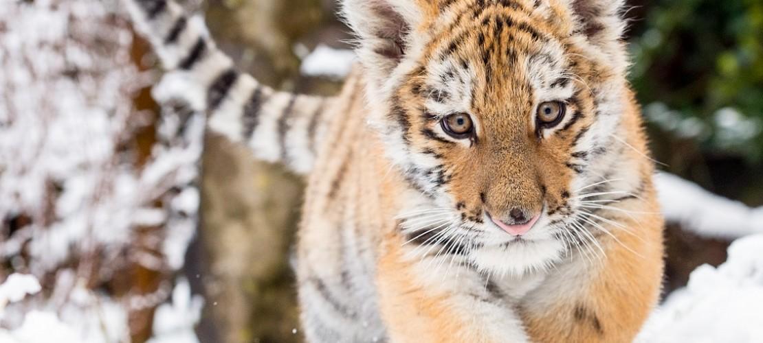 Dragan spielt im Schnee. In freier Natur leben Sibirische Tiger in sehr kalten Regionen. (Foto: dpa)