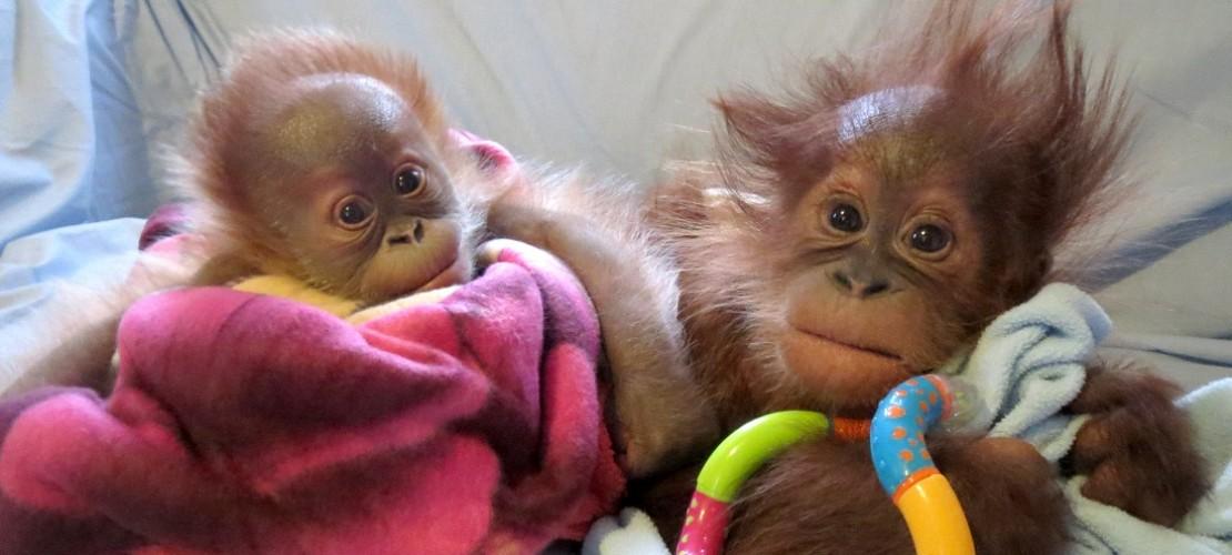 Orang Utan Mädchen Rieke hat schon einen neuen Freund gefunden: Der heißt Bulu Mata und kommt aus der Stadt Budapest in dem Land Ungarn. (Foto: dpa)