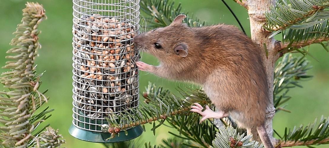 Vogelfutter - das schmeckt auch Ratten. (Foto: dpa)