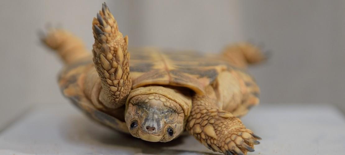 Schildkröten haben verschiedene Möglichkeiten, um sich wieder aufzurichten. (Foto: dpa)