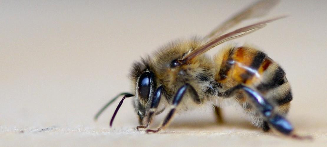 Wnterschlaf machen sie nicht. Aber Bienen ziehen sich im Winter in ihren Bienenstock zurück. (Foto: dpa)