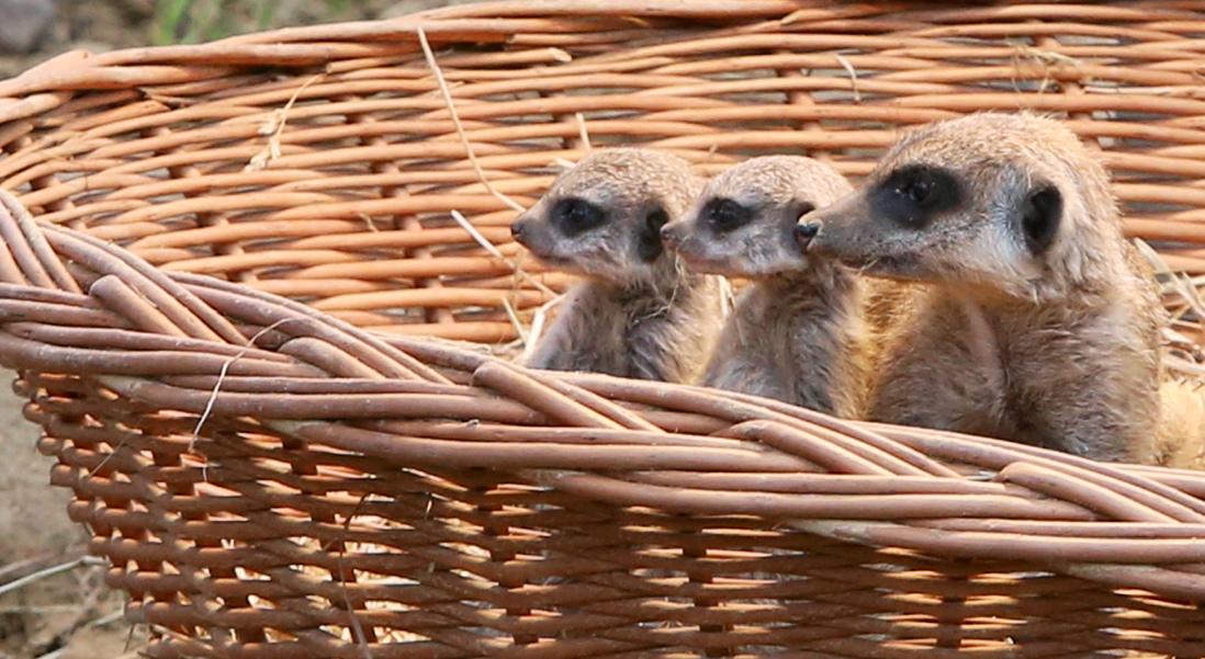 Süß! Vier kleine Erdmännchen worden im Kölner Zoo geboren. Hier seihst du drei von ihnen. (Foto: dpa)