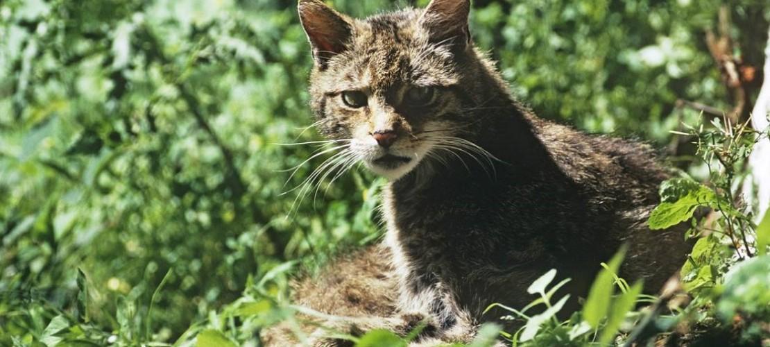 Wildkatzen streifen nun auch wieder durch die Wälder in Deutschland. (Foto: dpa)