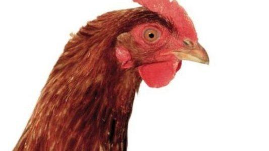 Um herauszufinden, welche Farbe das Ei hat, das ein Huhn legen wird, musst du es dir nur ganz genau angucken. (Foto: Thinkstock)