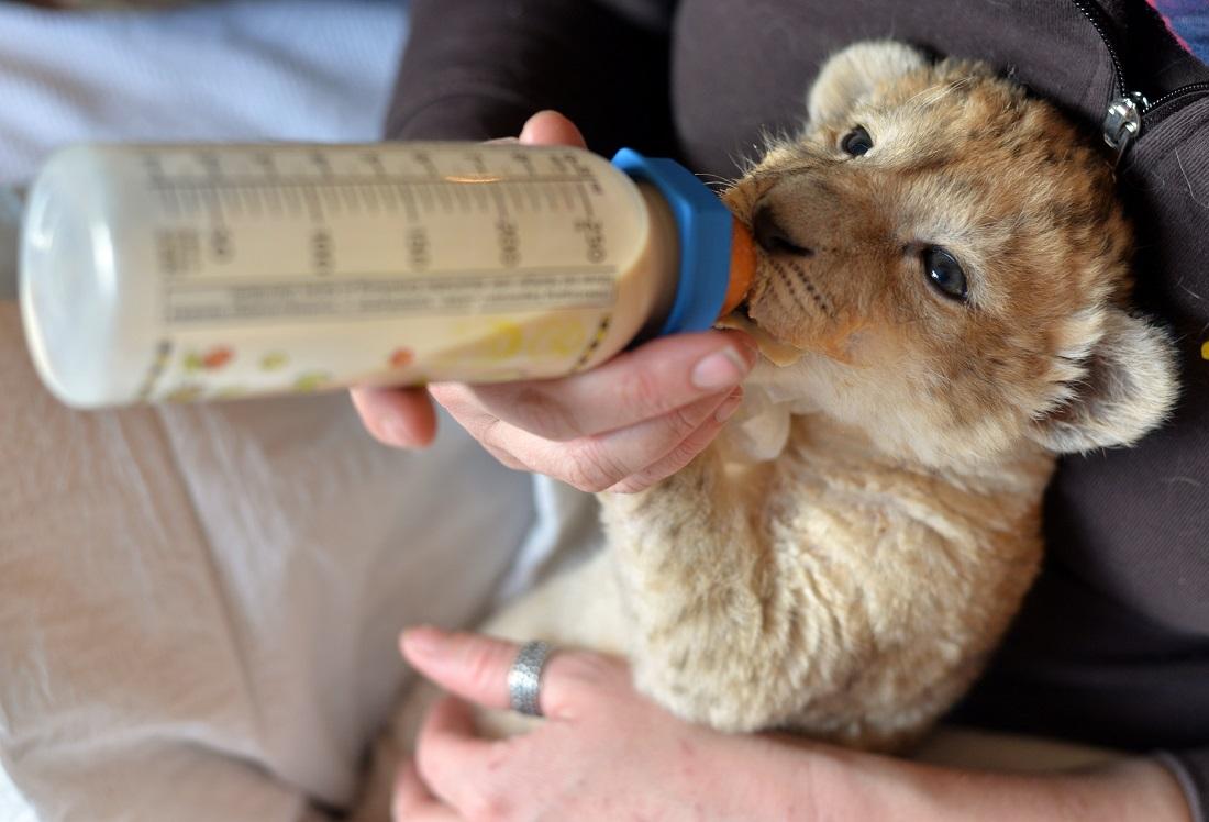 Malor bekommt Milch, die für Katzenbabys gedacht ist. (Foto: dpa)
