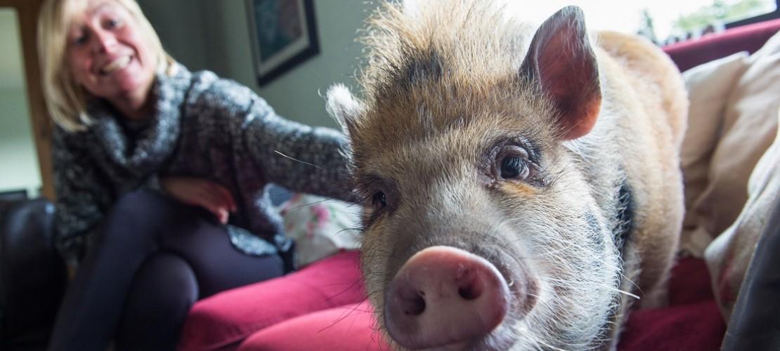 Pepper ist ein Minischwein und lebt bei einer Familie im Saarland. (Foto: dpa)