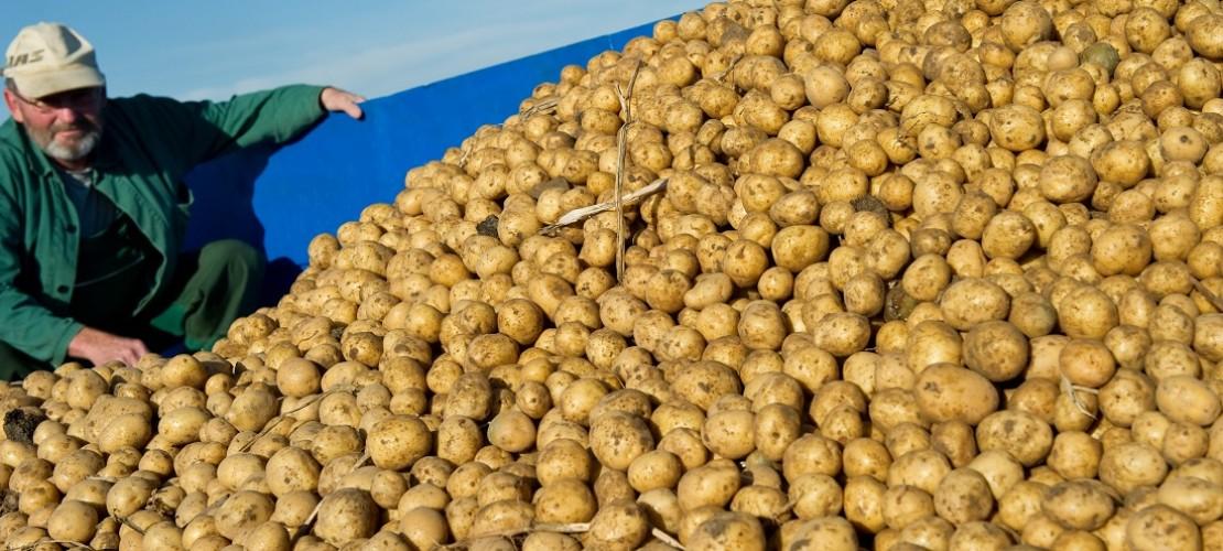 Heute sind Kartoffeln überall auf der Welt beliebt. Vor rund 400 Jahren war das aber nicht so. (Foto: dpa)