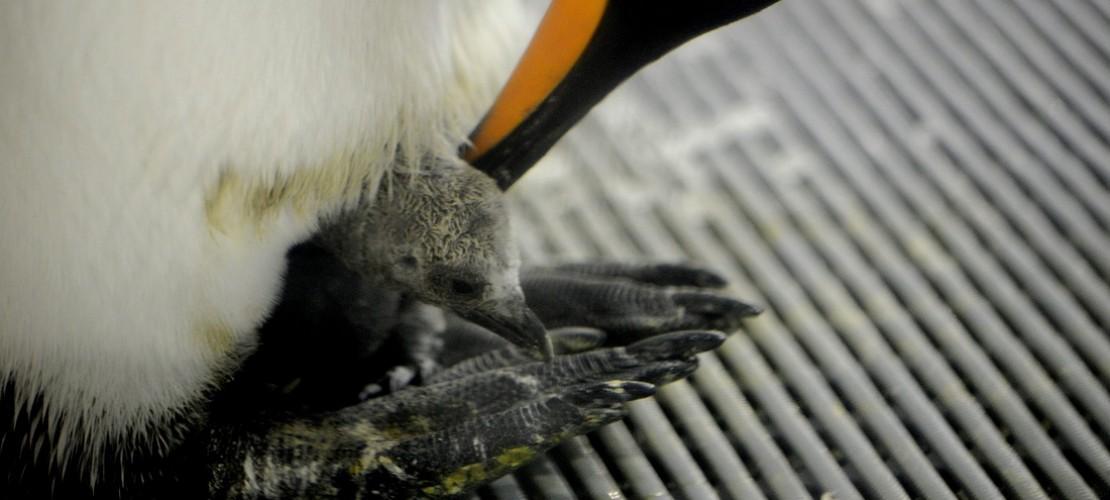 Gut geschützt: Ein Königspinguin kümmert sich um sein Küken. (Foto: dpa)