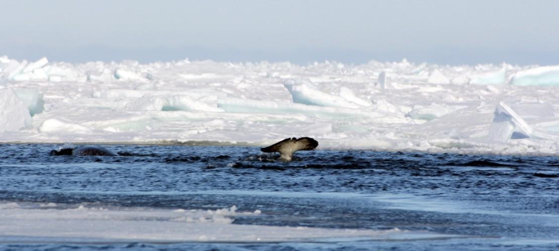 Manche Wale machen besondere Geräusche, um an Beute zu kommen. (Foto: privat/Jens Koblitz.)