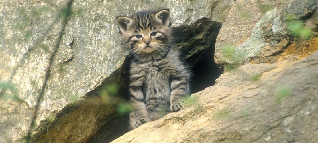 Wildkatzen sind die wilden Verwandten der Hauskatzen. (Foto: Delpho)