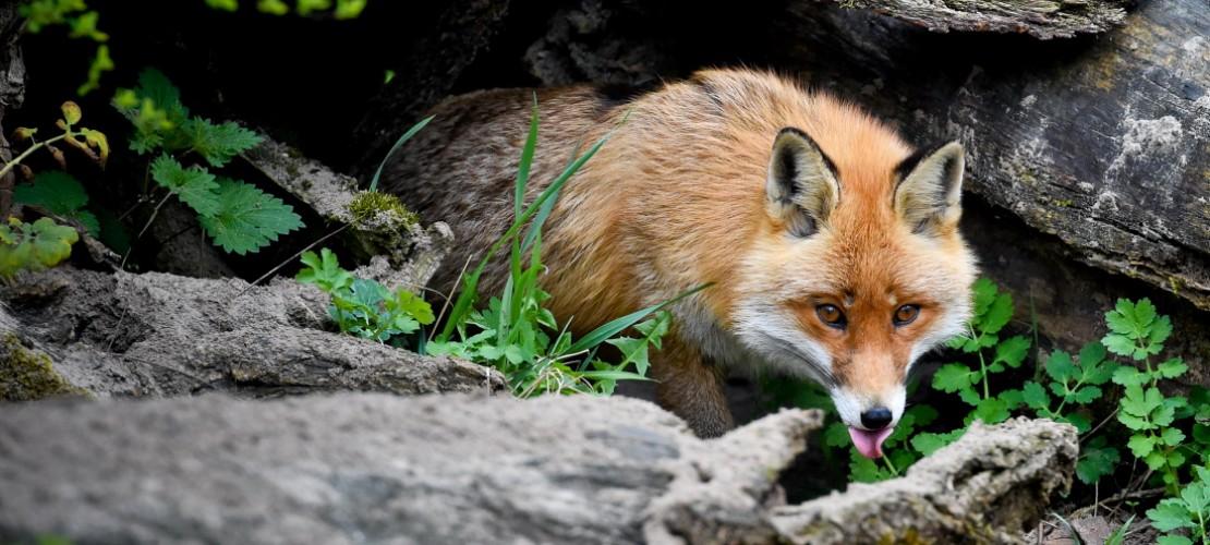 Es klingt verrückt, aber manchmal kommt es vor: Kaninchen und Fuchs leben dicht beieinander unter der Erde. (Foto: dpa)