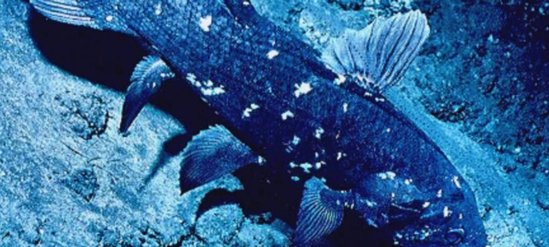 Dieses Tier ist für die Evolutions-Forschung sehr wichtig: Am Quastenflosser kann man erkennen, wie sich aus den Fischen die Landtiere entwickelt haben. Er hat nämlich verschiedene Merkmale. Zum Beispiel die eines Fisches: Schuppen und Kiemen. Er hat aber auch andere Merkmale: eine Art Lunge und Gehflossen. Die Knochen in diesen Flossen sind ähnlich aufgebaut wie die Arme und Beine der Landlebewesen. (Foto: dpa)
