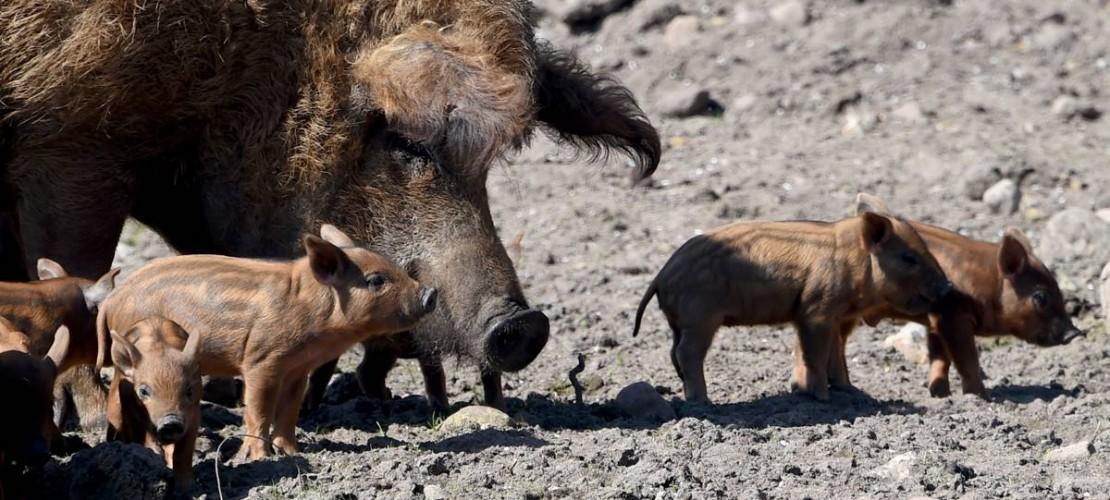 Die Kleinen sind noch glatt. Aber wenn sie älter werden, wächst ihnen auch so eine dicke Wolle wie dem großen Schwein. (Foto: dpa)