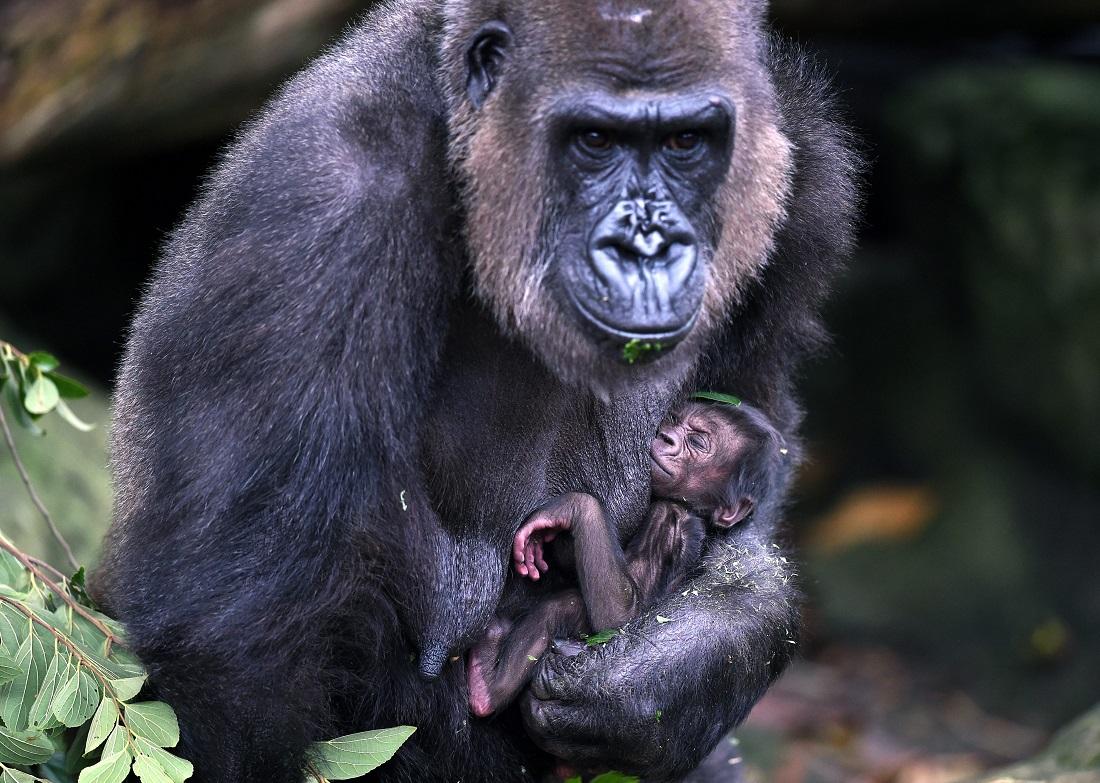 Frala trägt ihr Baby im Zoo in der australischen Stadt Sydney ganz nah bei sich, um es zu schützen. (Foto: dpa)