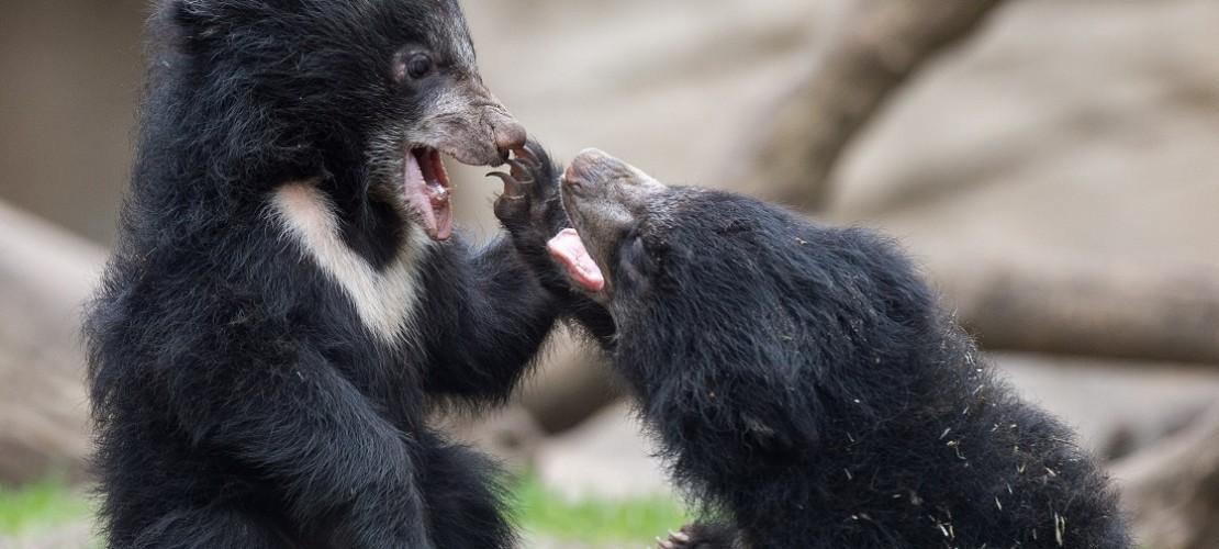 Die kleinen Bären raufen gern miteinander. (Foto: dpa)