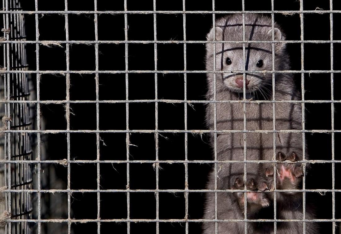 Die Pelze von Nerzen sind sehr beliebt. Viele Tiere werden daher gezüchtet, damit man Klamotten aus ihnen macht. (Foto: dpa)