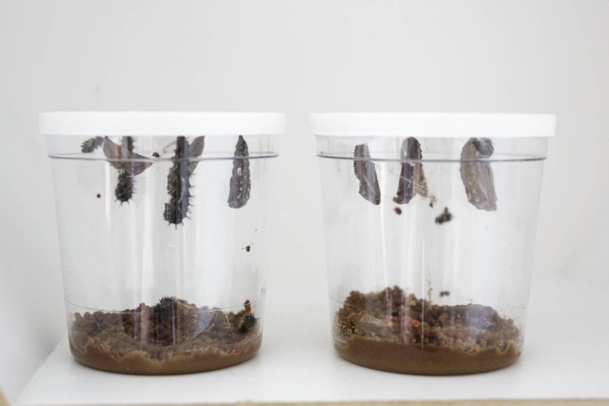 Wie sich diese fünf Raupen in wunderschöne Schmtterlinge verwandeln - das zeigen wir euch in einer dreiteiligen Serie. (Fotos: Neumann)