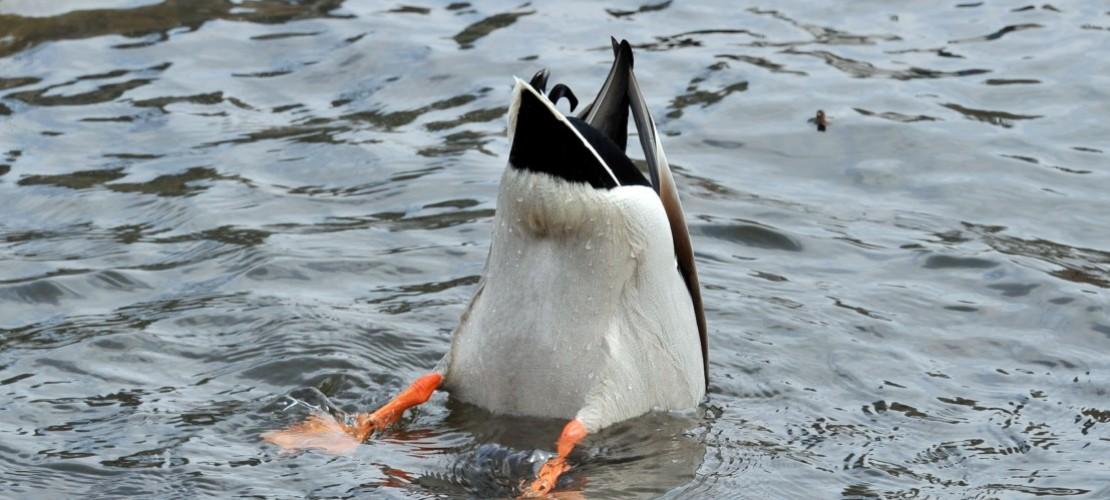 Kohl statt Brot für die Enten