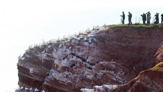 Viele Menschen kommen nach Helgoland, um sich die Lummen, die in die Tiefe springen, anzuschauen. (Foto: dpa)