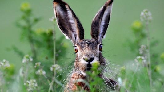 Hasen sind Pflanzenfresser. Besonders gern naschen sie die frischen Knospen und Triebe von Sträuchern und auch Wildkräuter. (Foto: dpa)