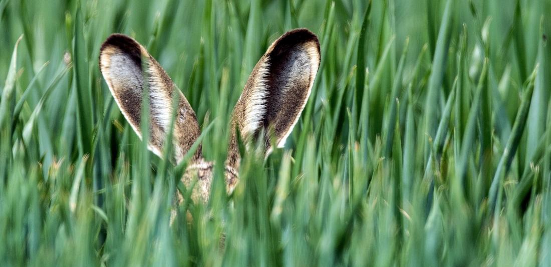 Hasen haben lange Ohren. Die nennt man auch Löffel. (Foto: dpa)
