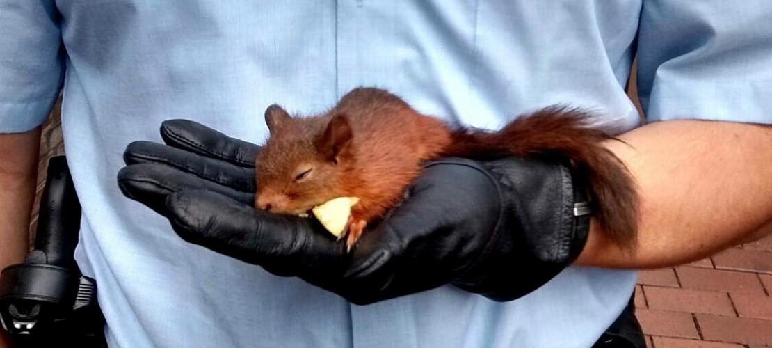 Das Eichhörnchen verfolgte eine Frau. Deswegen rief sie die Polizei. Die Polizisten brachten das Tier in eine Tier-Auffangstation. (Foto: dpa Pollizei Recklingshausen)