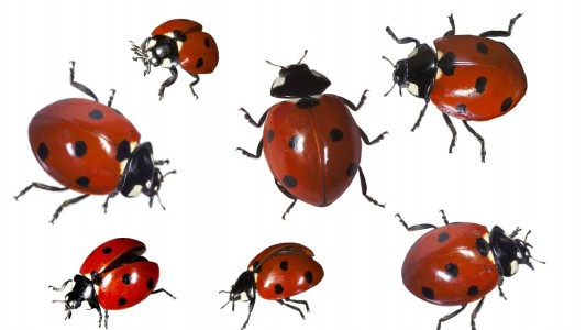 Viele Insekten sind nicht unbedingt beliebt. Bei dem Marienkäfer ist das anders. Viele Menschen glauben, dass er Glück bringt. (Foto: dpa)